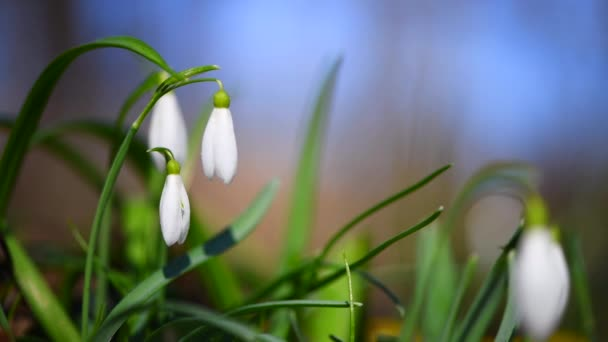 Closeup of small white delicate snowdrops in spring forest