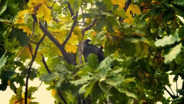 A black bird sitting in leaves. Autumnal Oak Leaves Late summer early autumn sunlight through oak leaves.