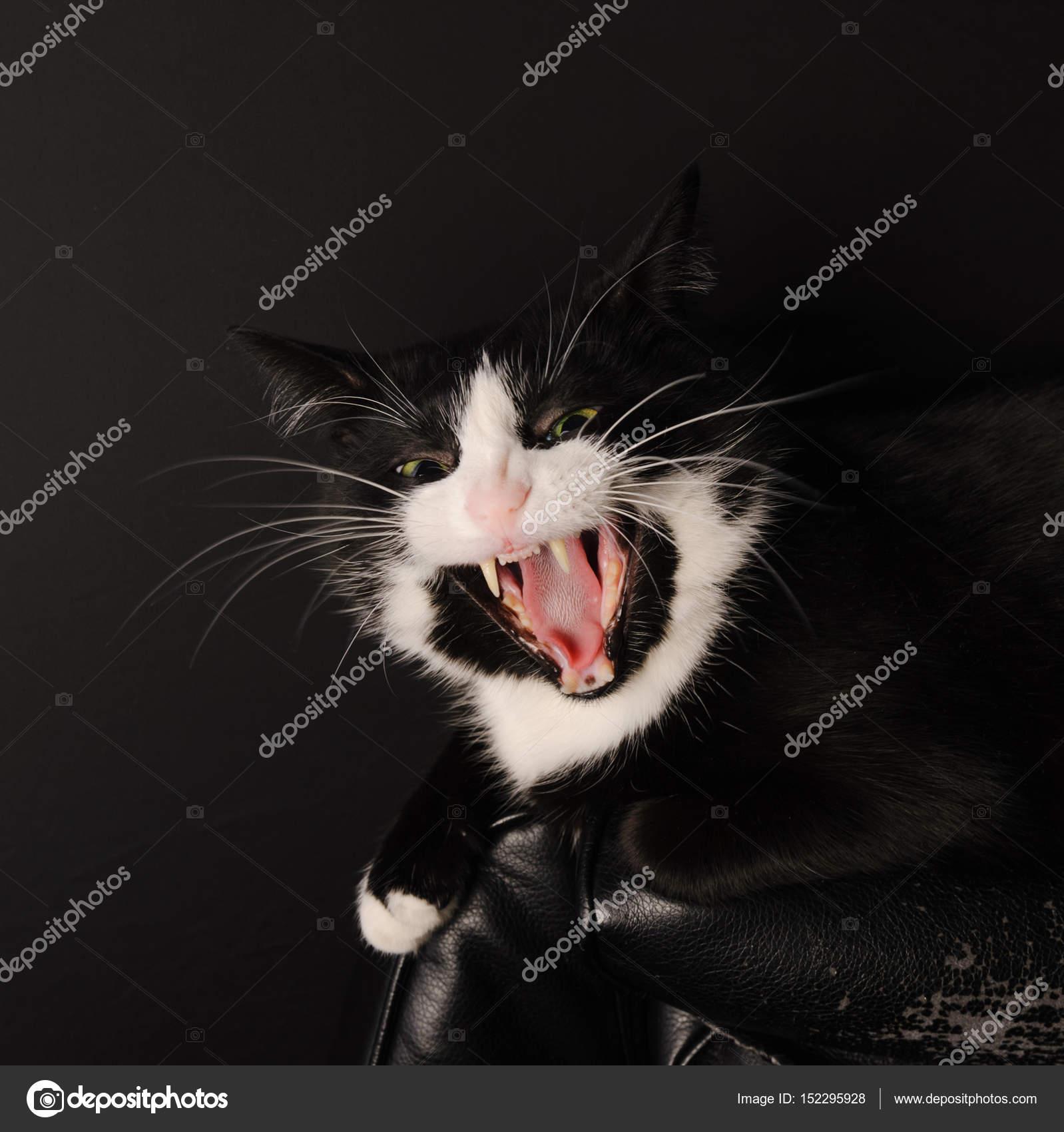 Černá afrika kočička