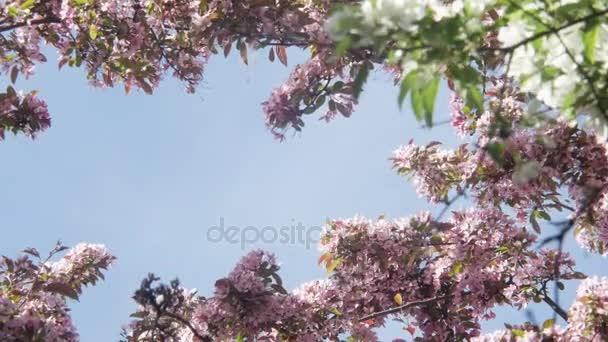 Kvetoucí bílé a fialové japonská Sakura třešňových květů v mělké hloubky ostrosti proti modré obloze květiny na větvích formuláře aplikace apple nebo třešeň přírodní rámeček kolem modré oblohy