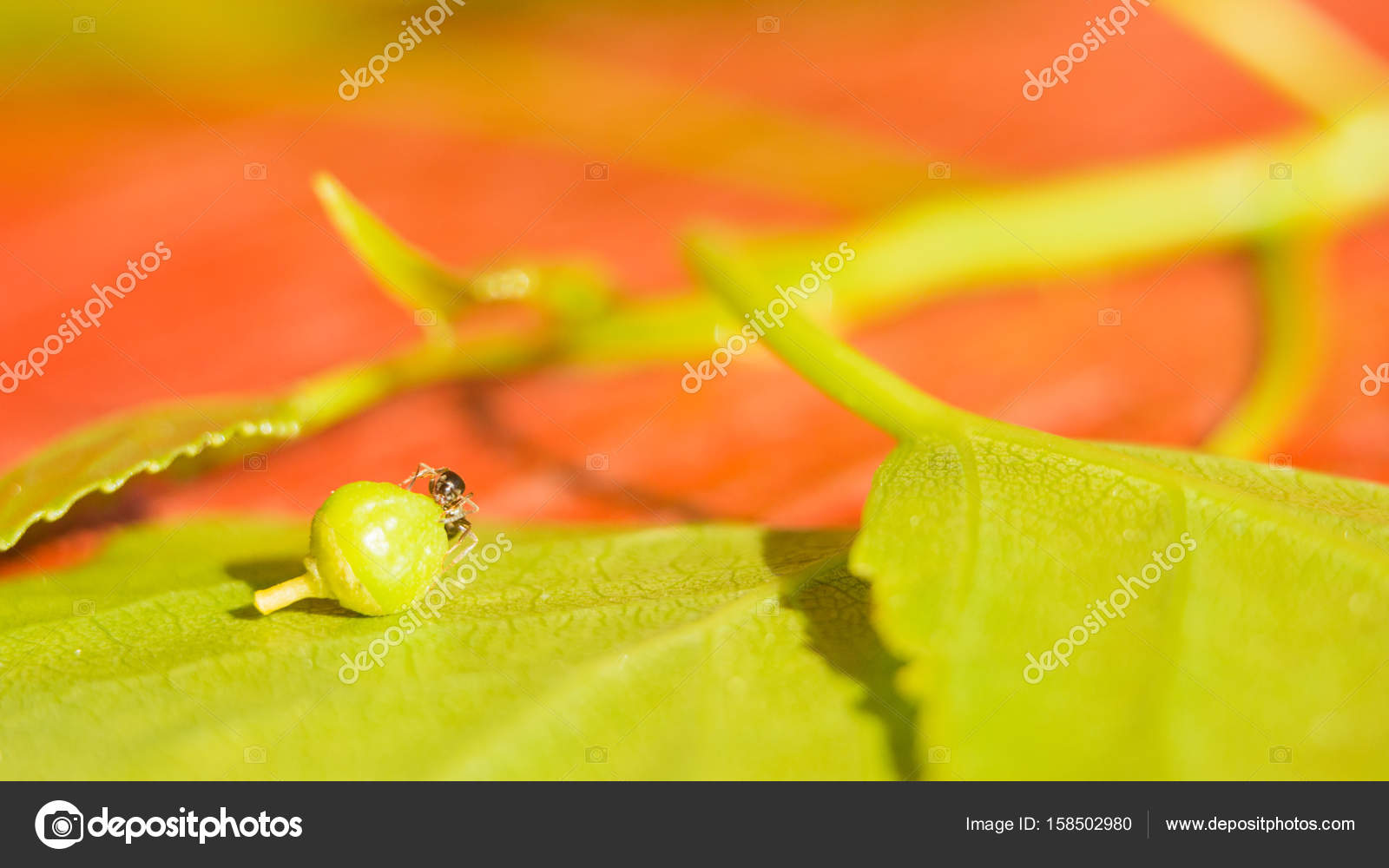 La hormiga sobre la hoja verde arrastra la semilla. Protección del ...