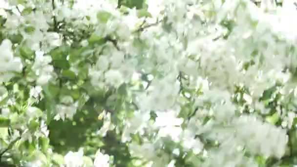Bílé květy na větvi. Kvetoucí strom panorama. Symbol jara nebo léta a probuzení života, radosti a čistoty. Světlé barvy. Zavřít pohled