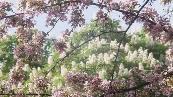větve kaštanu a fialové japonská Sakura cherry s květiny a zelené listy v parku, modrá obloha, bluechestnut strom Chromakey. Kvetoucí kaštany. Kýval větvemi květenství