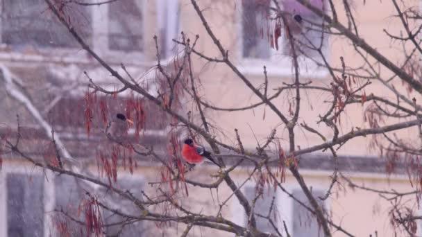 Zimní ptáci a padajícím sněhem. Hýl sedět na větvi stromu a jíst.