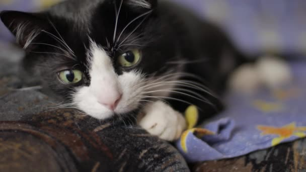 black cat with white face is lying on a sofa, stirs his ears and looking into camera with his green eyes. Pet lifestyle concept. Slow motion front view close up shot 4K video.