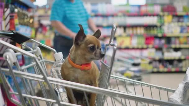 malý dekorativní pes sedí v supermarketech a dívá se okolo 4k pomalý pohyb zavřít video