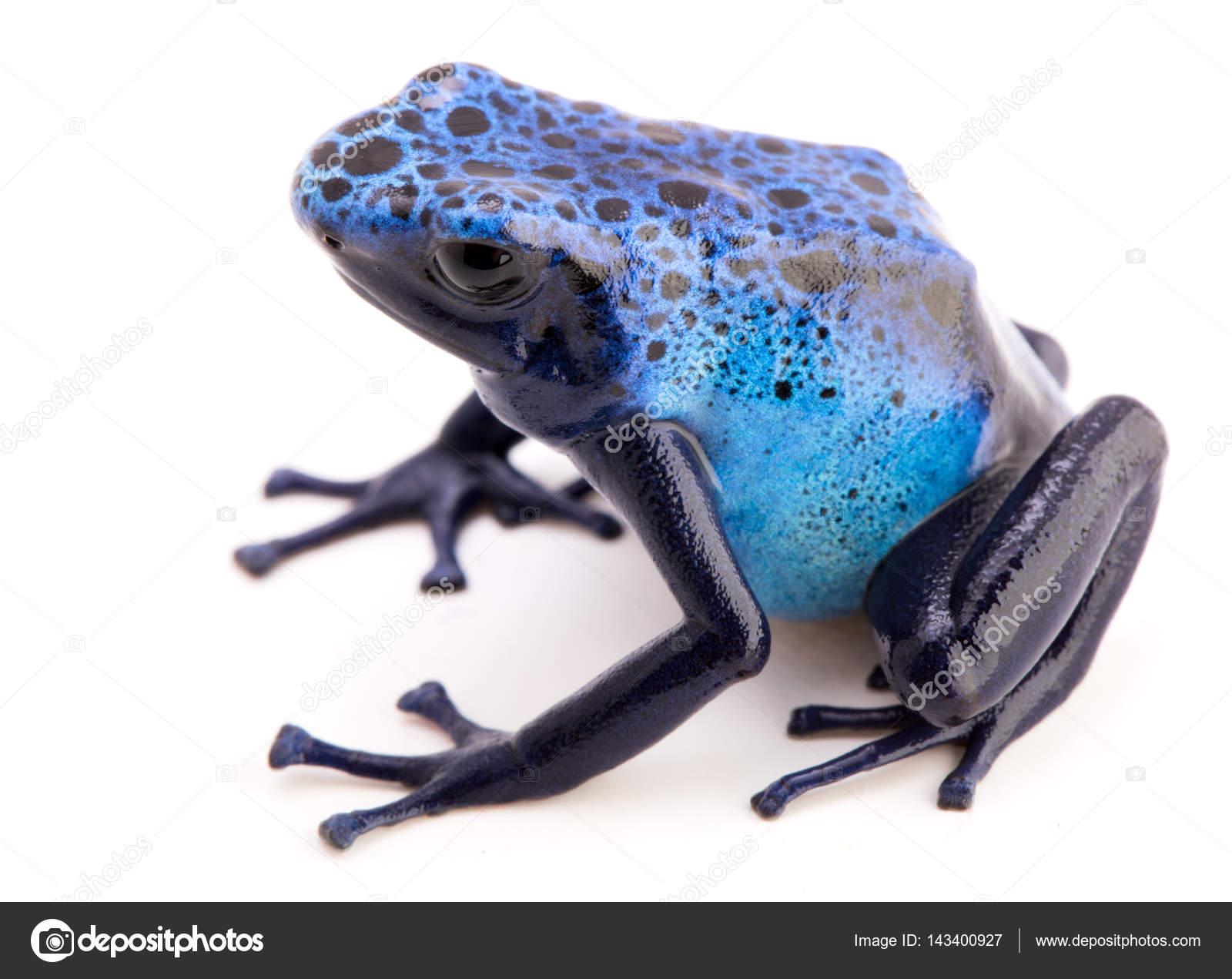 Grenouille Bleue Venimeuse grenouille bleue toxique — photographie kikkerdirk © #143400927