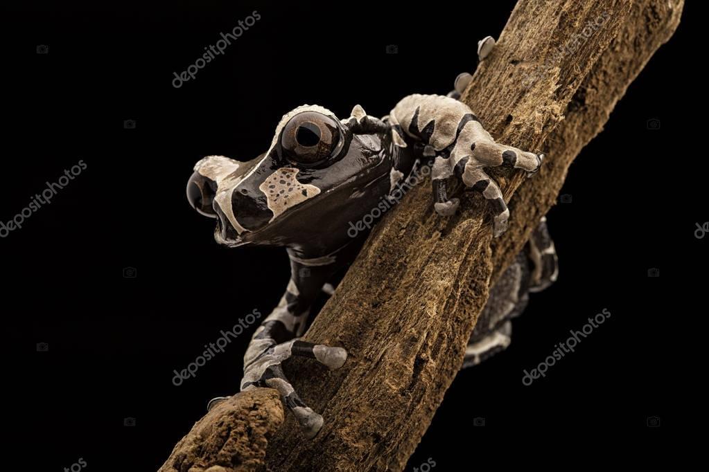 Tropical tree frog