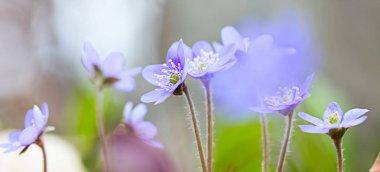 Blue spring wildflowers liverleaf