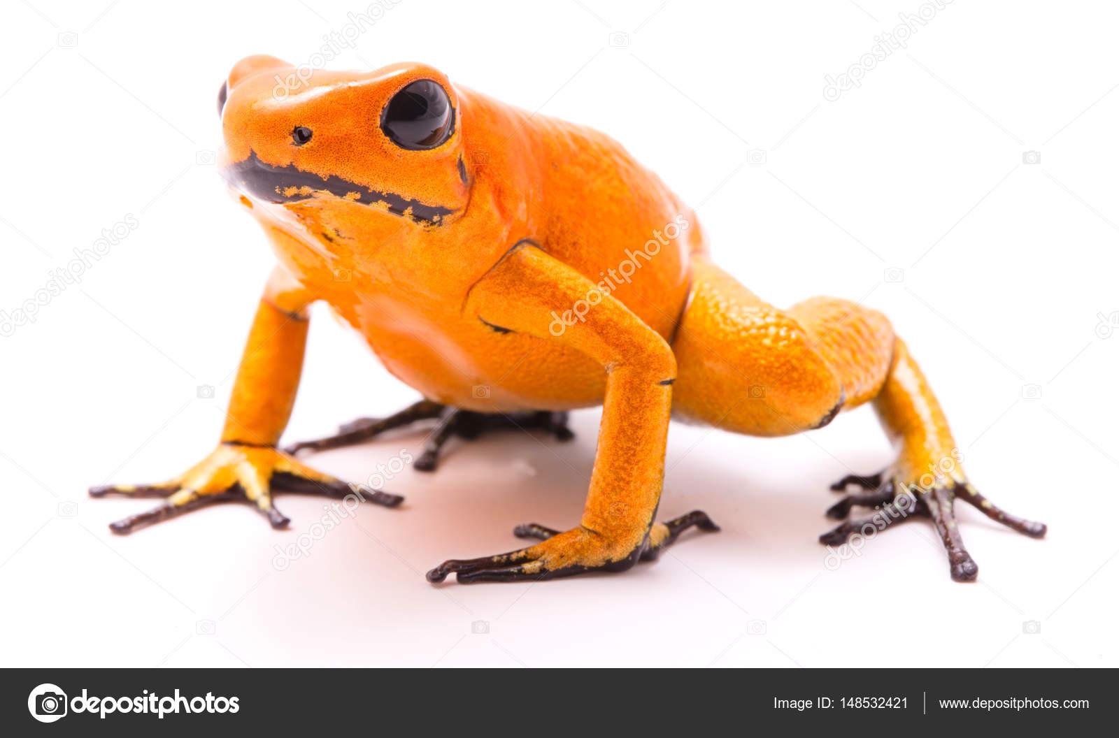 Vergiften Dart-Frosch — Stockfoto © kikkerdirk #148532421