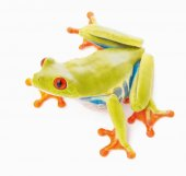 Red eyed tree frog an animal with vibrant eyes isolated on white background.
