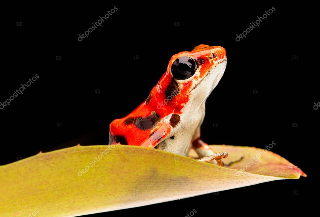 strawberry poison dart frog from the rain forest of Boca del Toros in Panama. A beautiful poisonous animal.