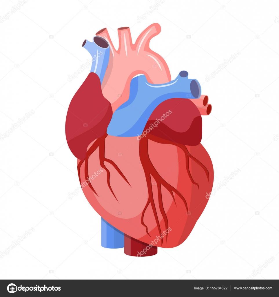 Anatomía corazón aislado — Vector de stock © drogatnev #155784822