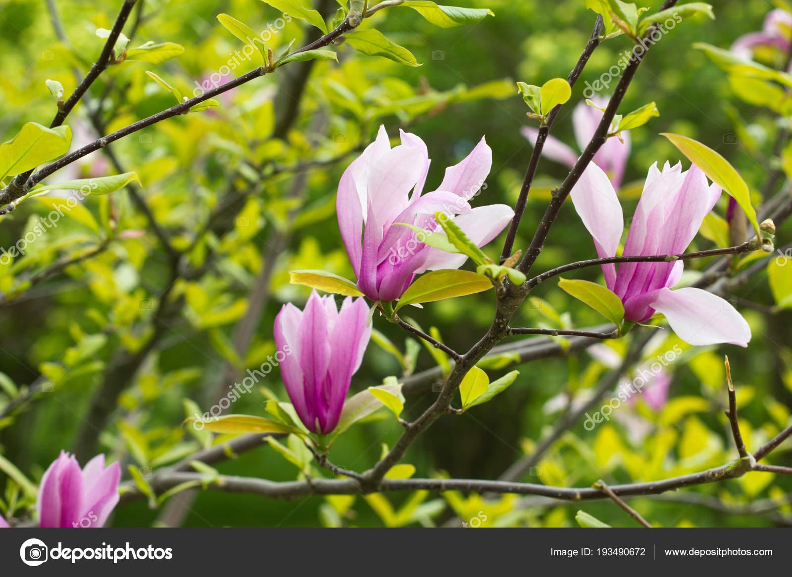 Flowering Magnolia Tulip Tree Stock Photo Iraidka 193490672