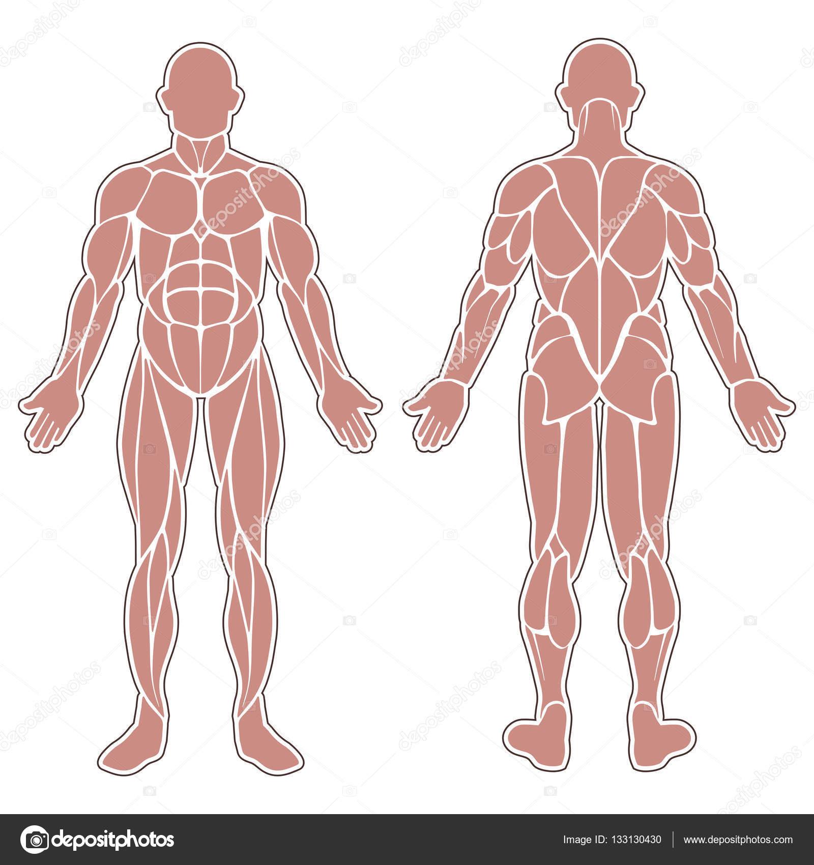 Músculos del cuerpo humano — Vector de stock © longquattro #133130430