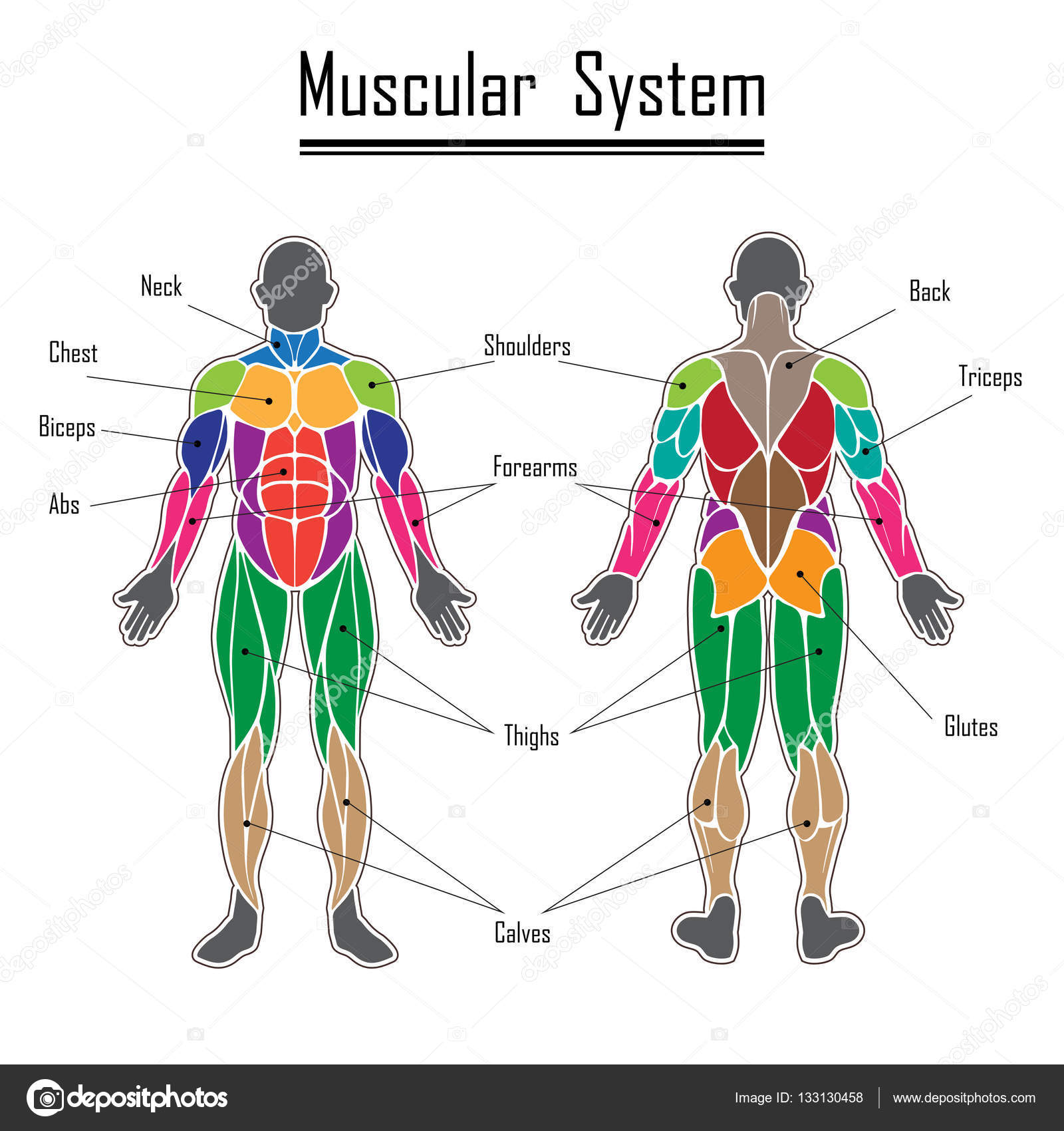 Human muscular system — Stock Vector © longquattro #133130458
