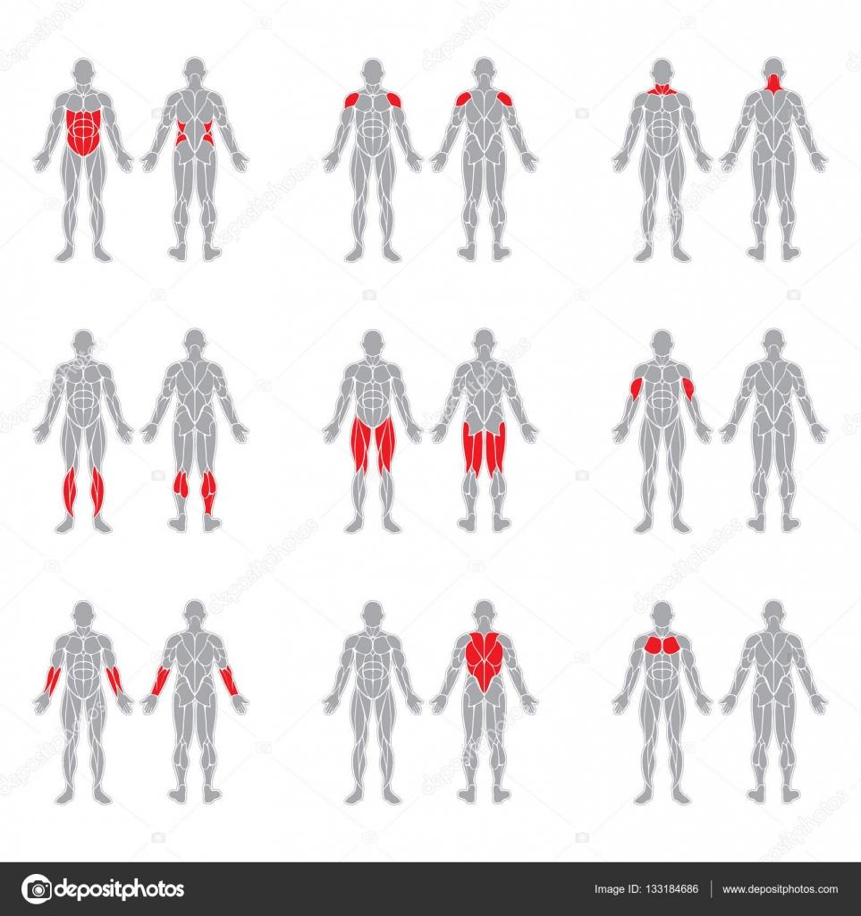Músculos del cuerpo humano — Archivo Imágenes Vectoriales ...