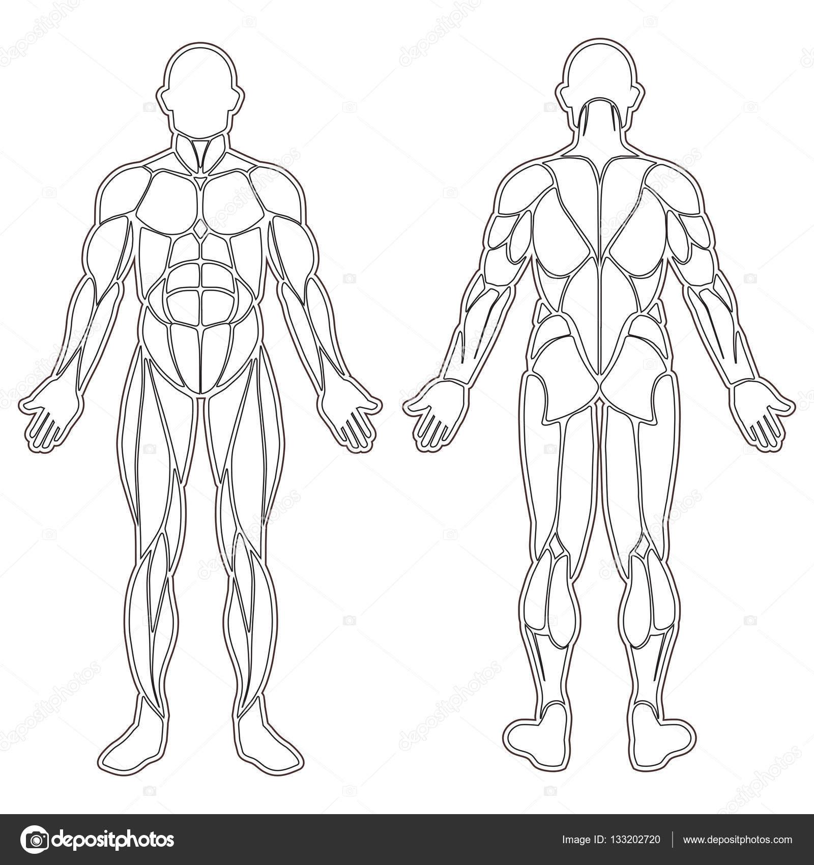 Silueta de los músculos del cuerpo humano — Vector de stock ...