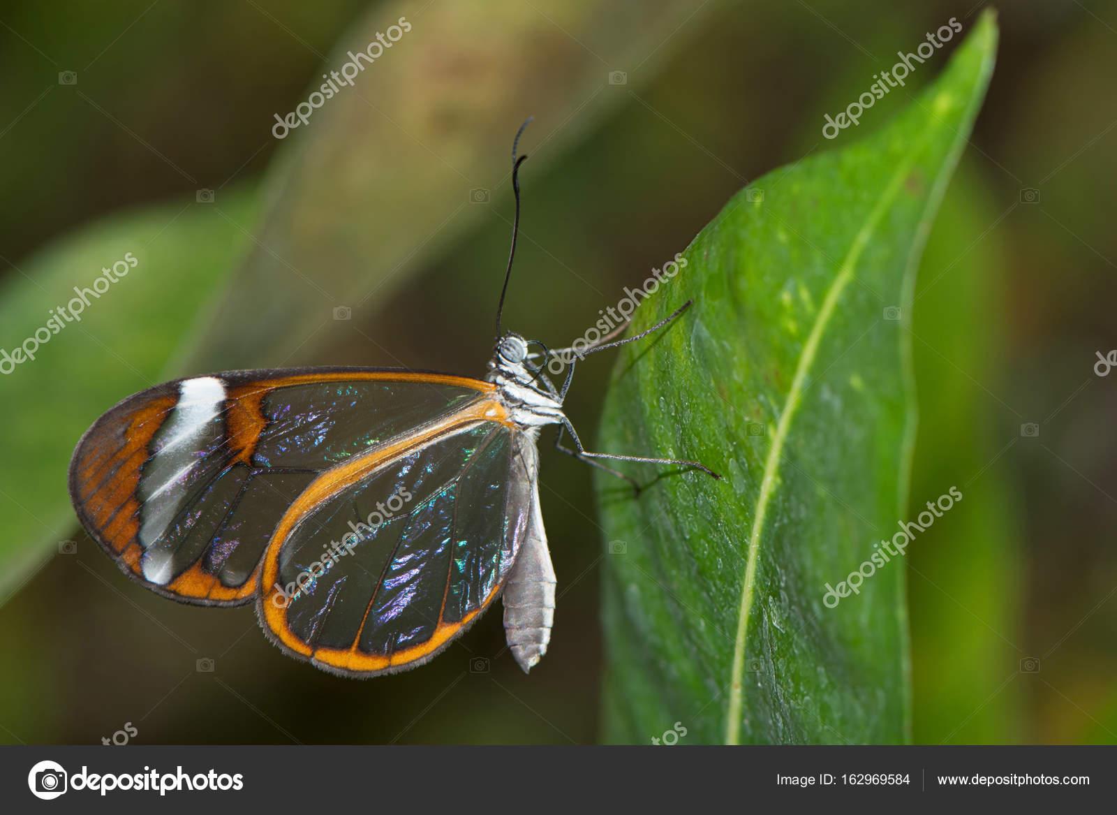 Glasswinged Butterfly On A Leaf Stock Photo Arievdwolde 162969584