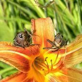 Kobylko tváře nad květiny