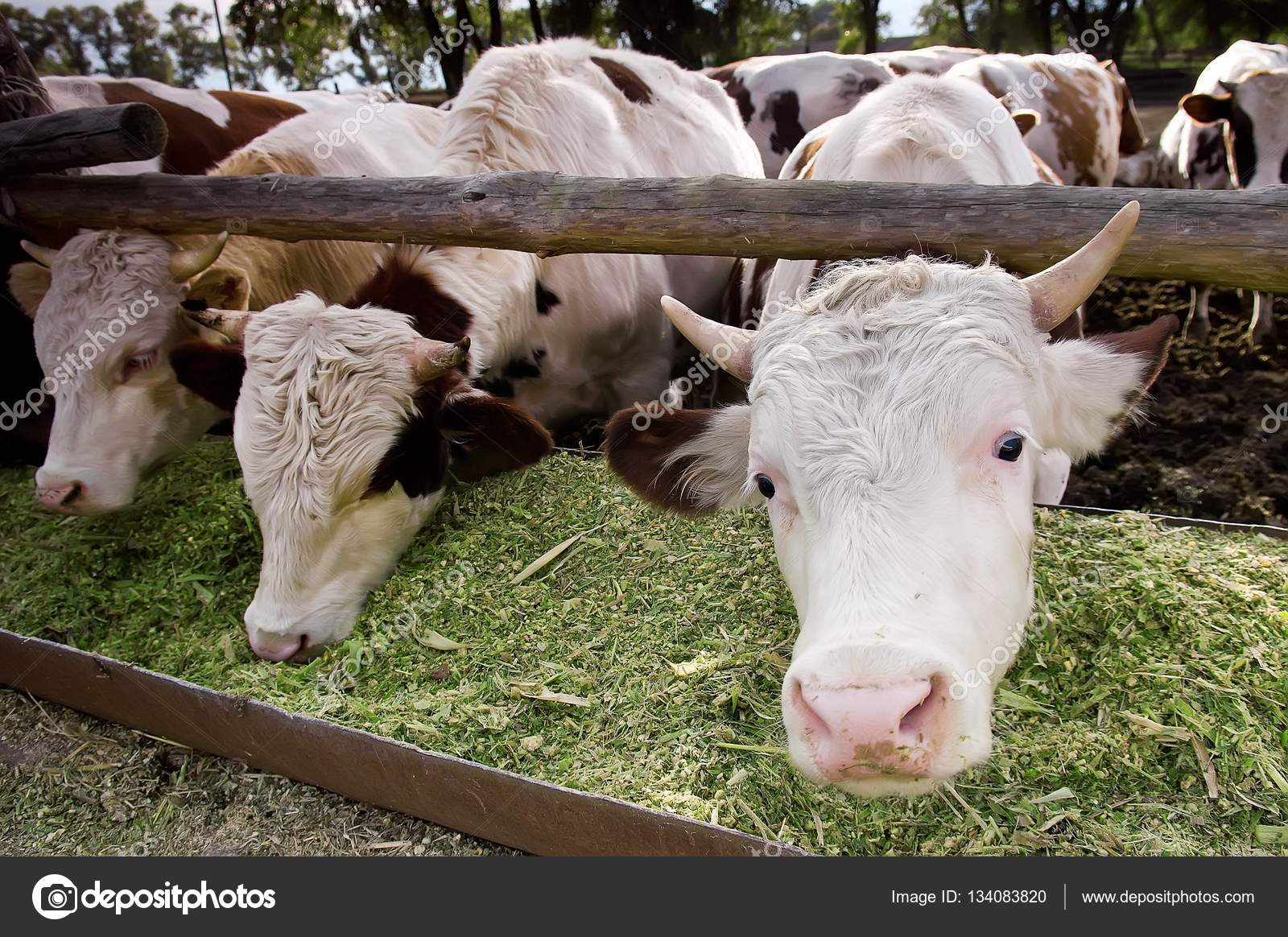the funny dairy cows eat silage in a farm u2014 stock photo alisa24