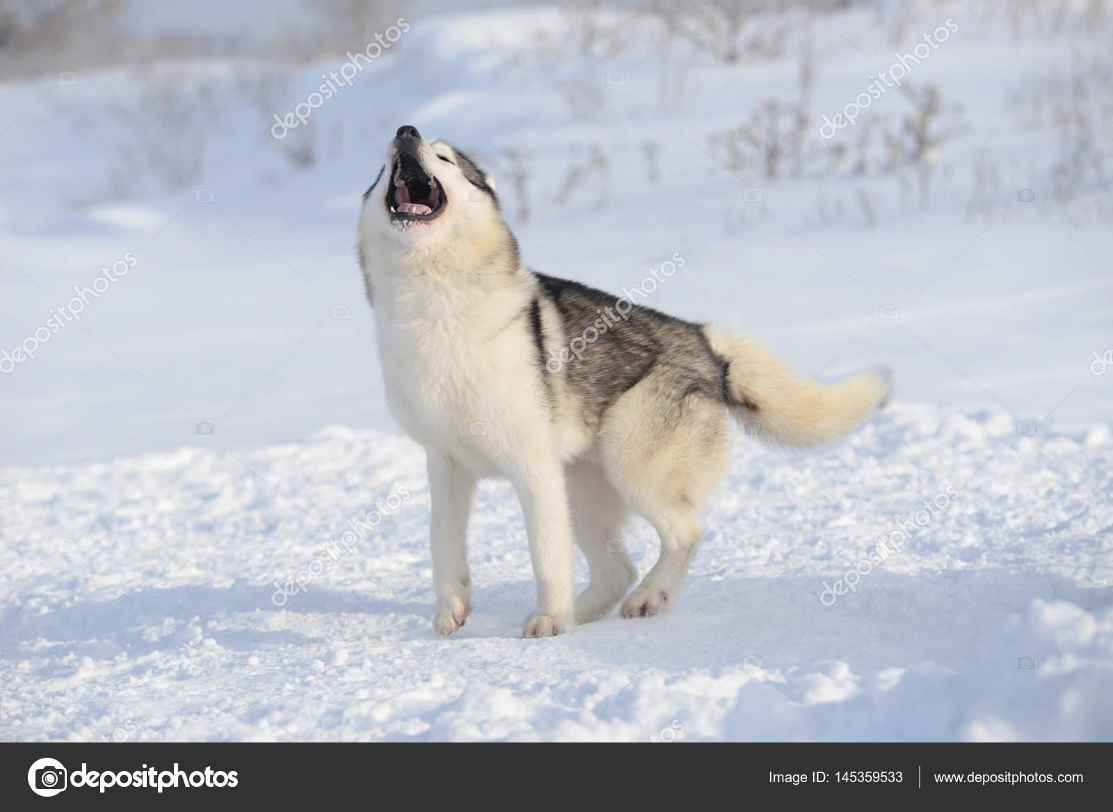 Siberian Husky Howls Stock Photo C Skvortsova 145359533