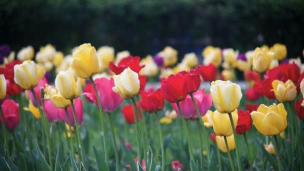 Jarní květiny tulipány close-up