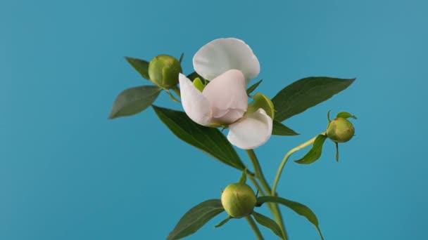 A virágzó fehér bazsarózsa ideje a szabadban. Virág nyitó háttér.