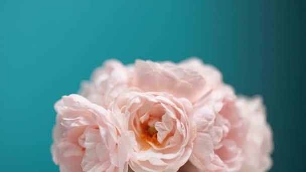 Čas kvetoucí růžové pivoňkové kytice. Květiny Otevírací Backdrop.