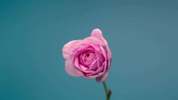 Timelapse of Blooming Pink Peony Outdoors. Otevření květin Backdrop.