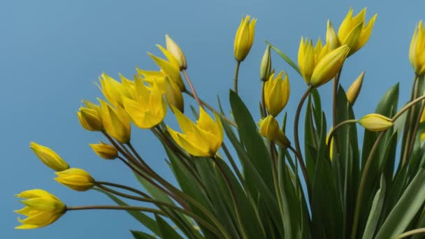 Timelapse of Blooming Yellow Tulips Bouquet. Flowers Opening Backdrop.