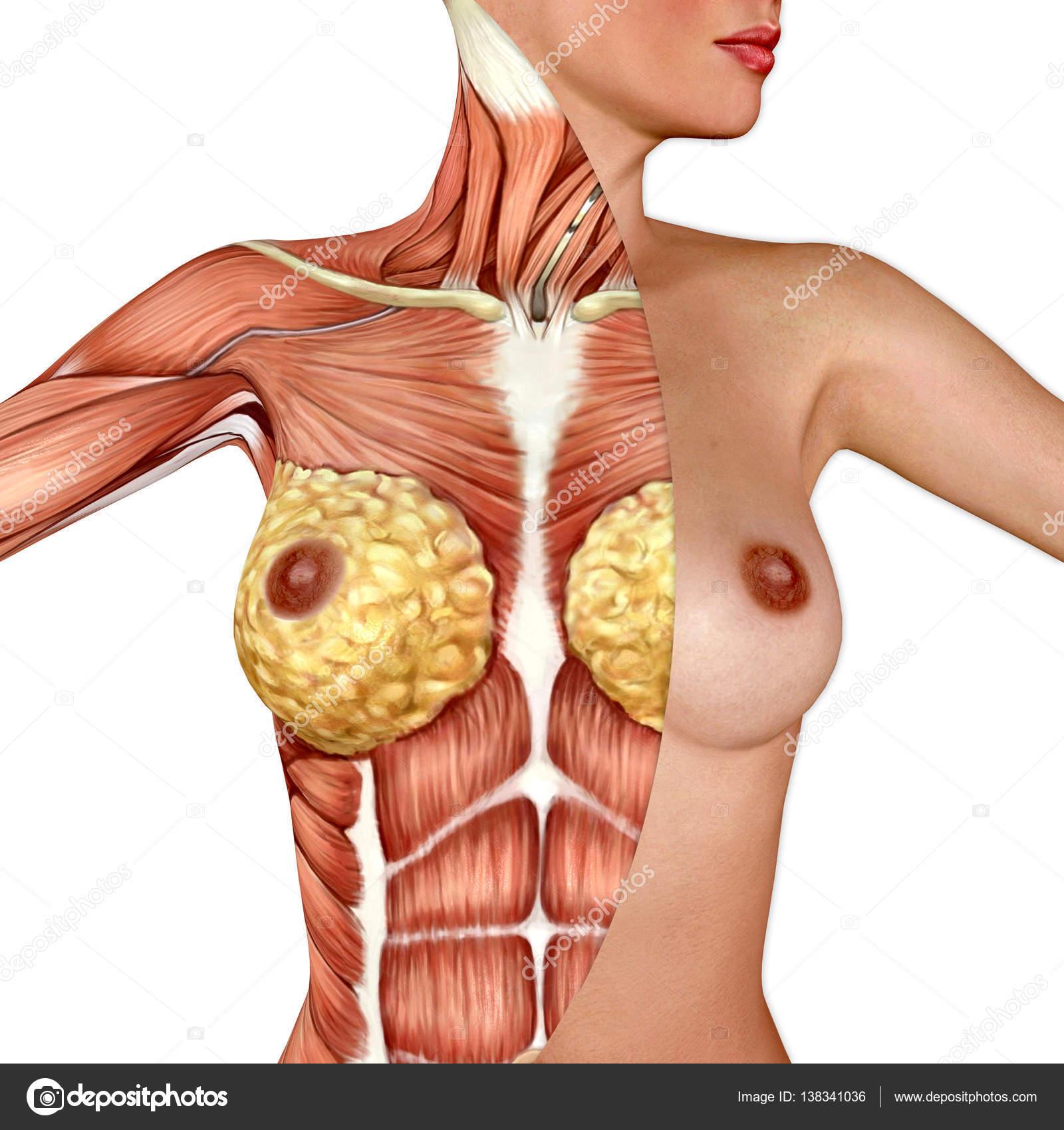 3d Anatomy Of The Female Breast Stock Photo Illustrart 138341036