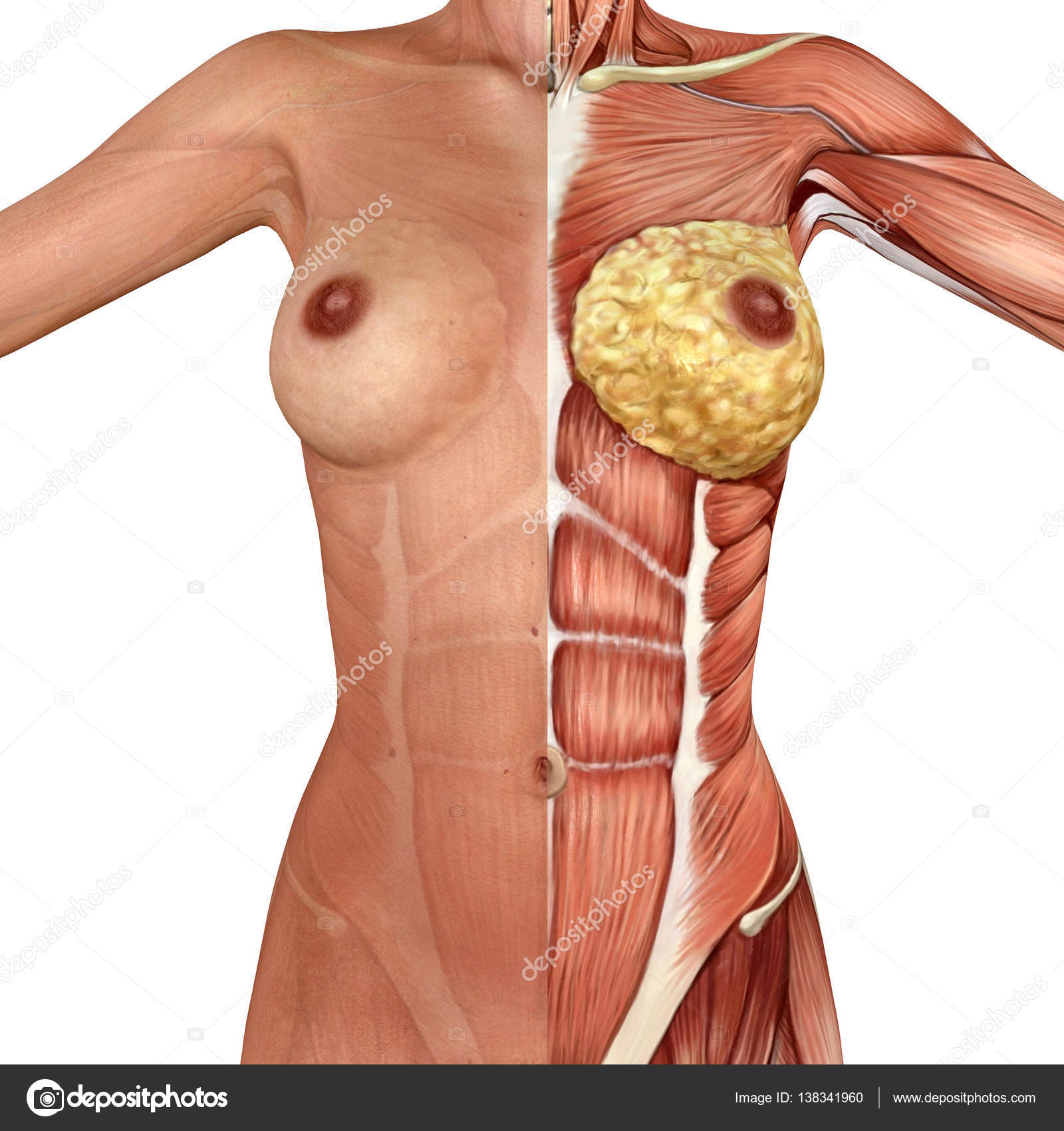 3d anatomy of the female breast — Stock Photo © illustrart #138341960