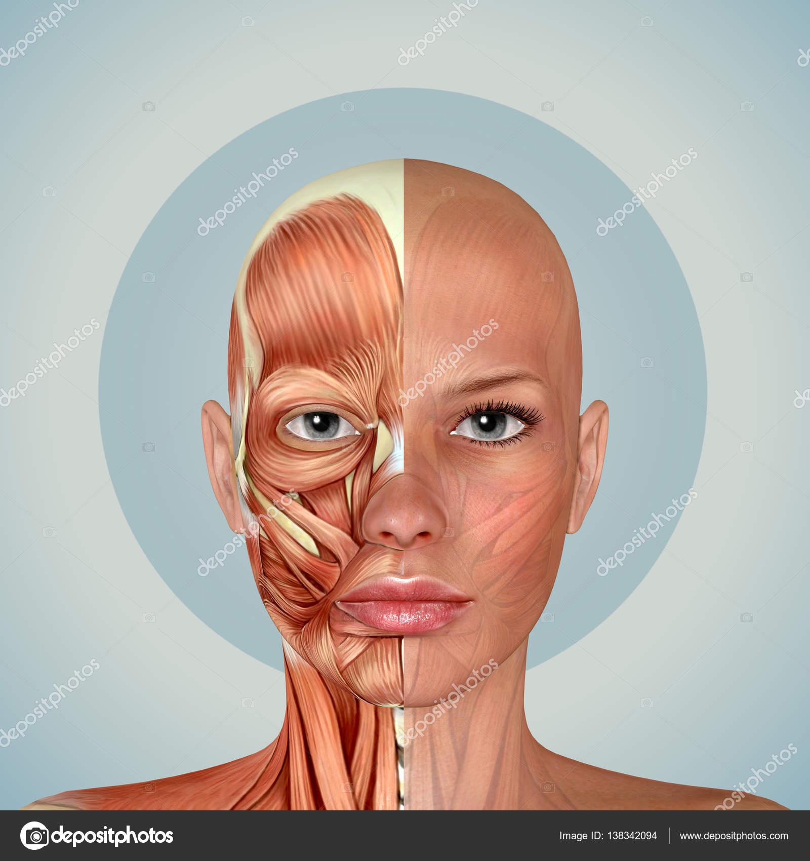 3D anatomía de los músculos de rostro femenino — Fotos de Stock ...