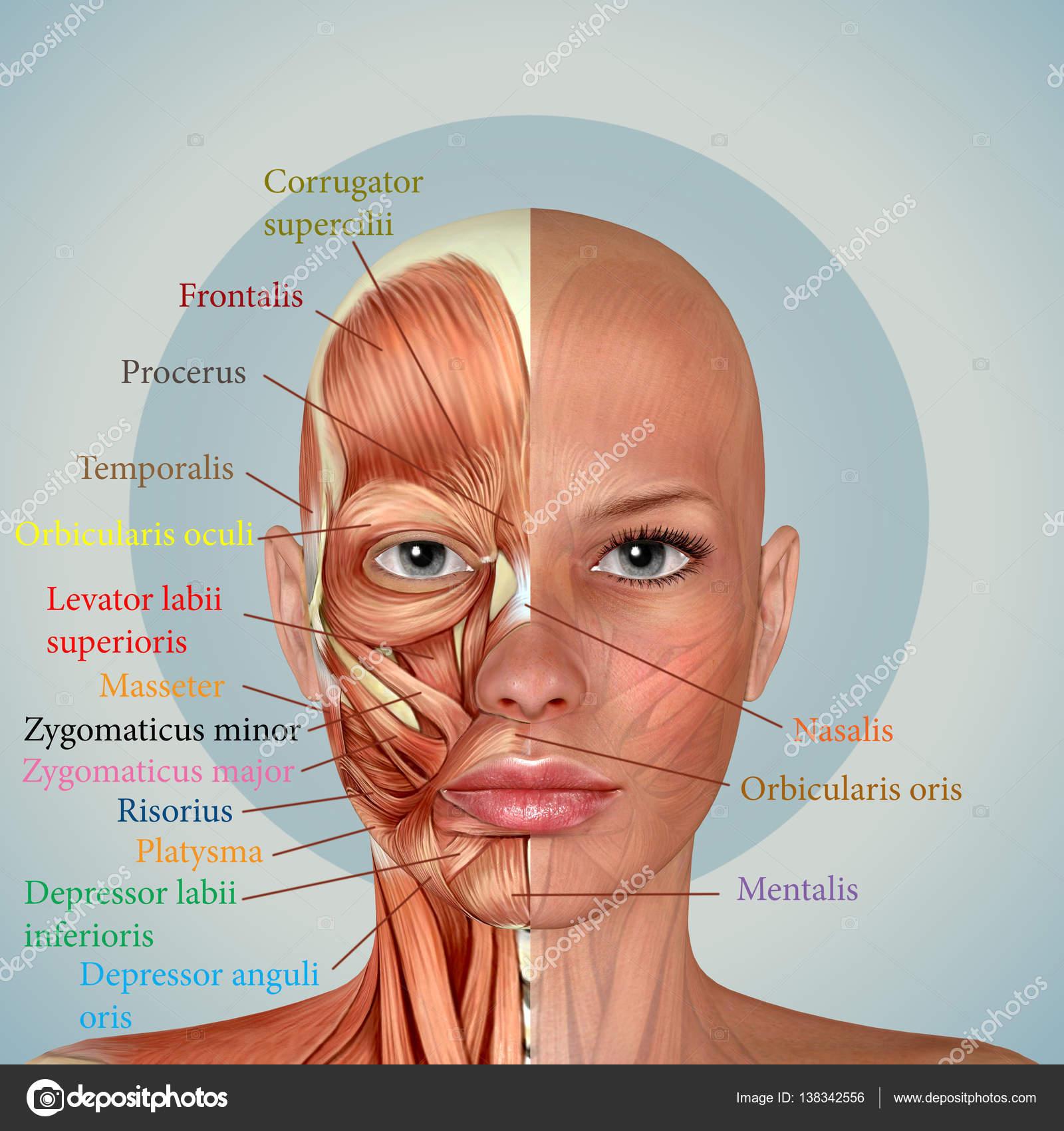 weibliches Gesicht Muskeln 3D-Anatomie — Stockfoto © DeryaDraws ...