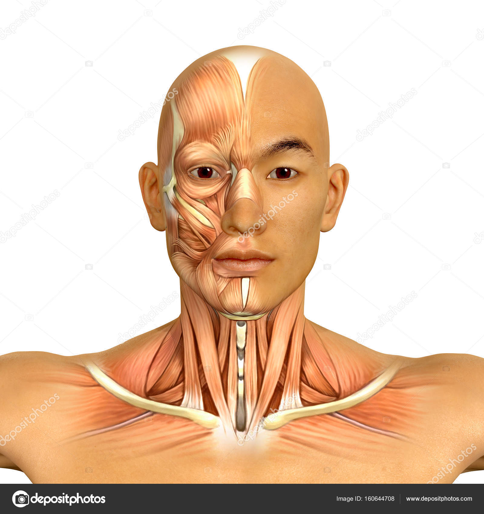 3d Asian male model face and neck muscles anatomy — Stock Photo ...
