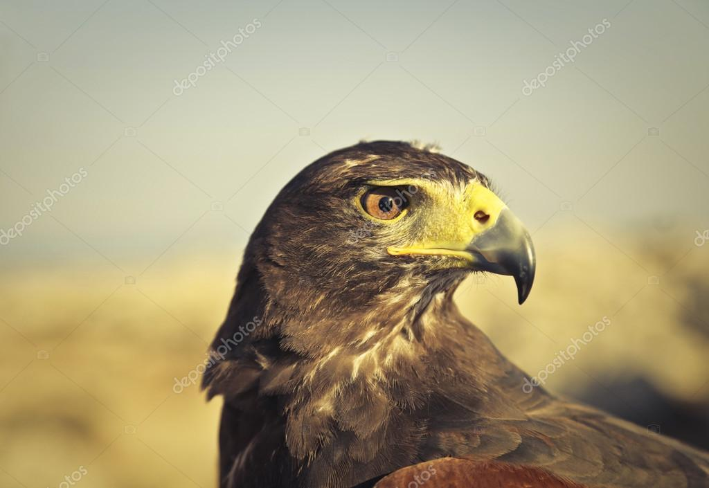 Eagle with yellow feathers