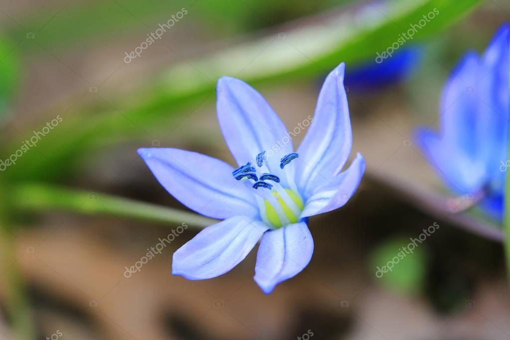 small blues spring flower