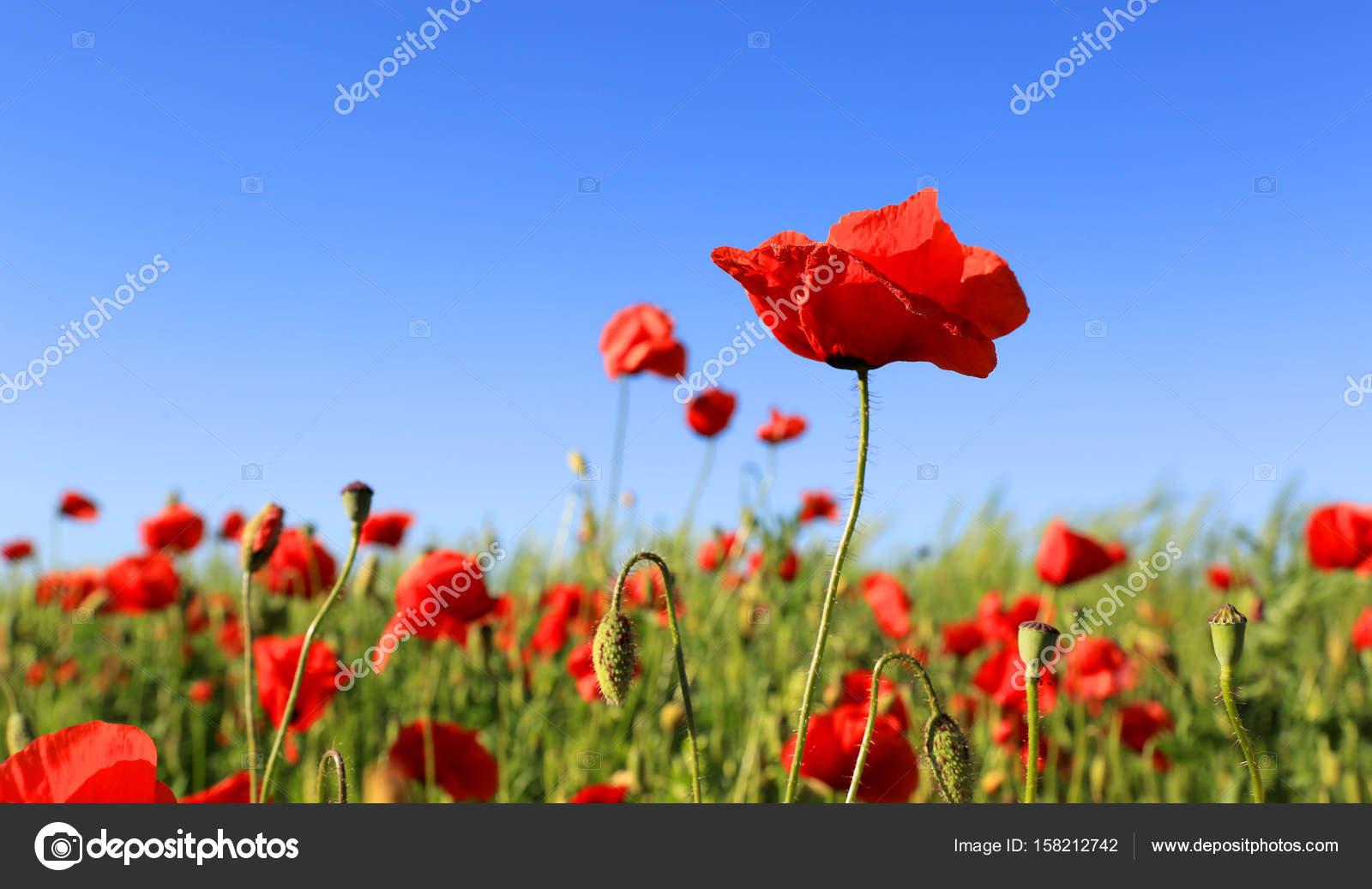 野生の赤いケシの花 — ストック...