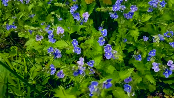 Fresh blue flowers at early summer nature