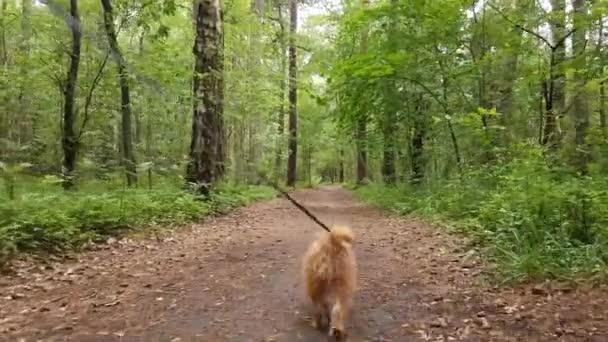Dog breed Bruxellois Griffon walking in a wood