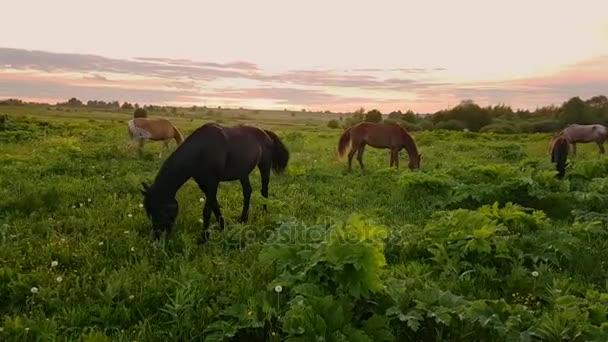 Koně pasoucí se na louce při západu slunce
