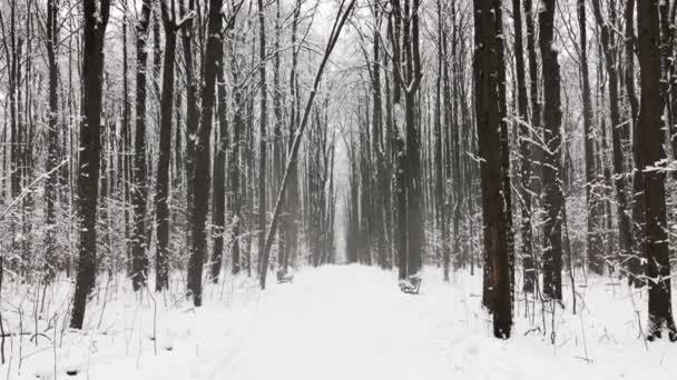 Snowfall in pine wood