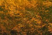 Podsvícené prérijní tráva