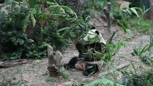 Panda Bear feeding on his bamboo meal