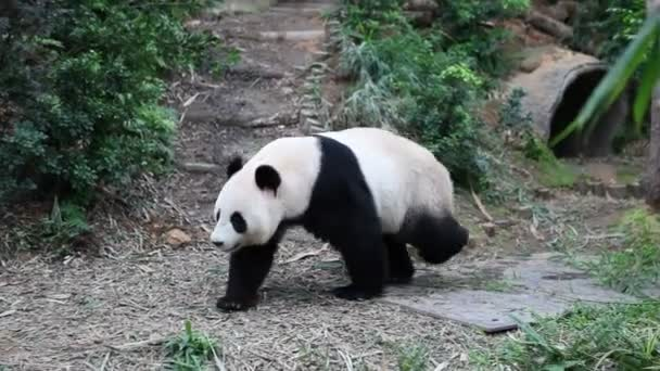 Giant panda runs around the aviary in Singapores zoo