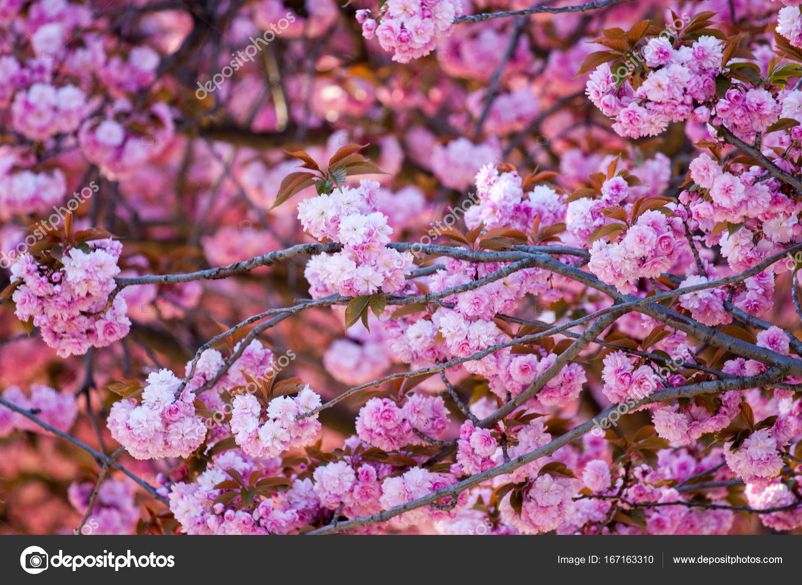 White Pink Flowers Of A Nut Tree Stock Photo Zheltikov 167163310