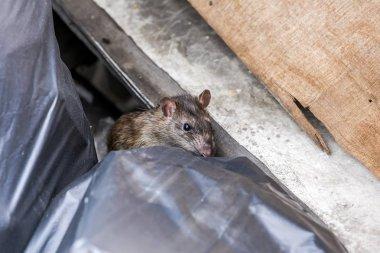 A rat behind the garbage bag. selective focus