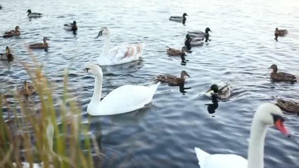 Bílé labutě a kachny, zpomalené