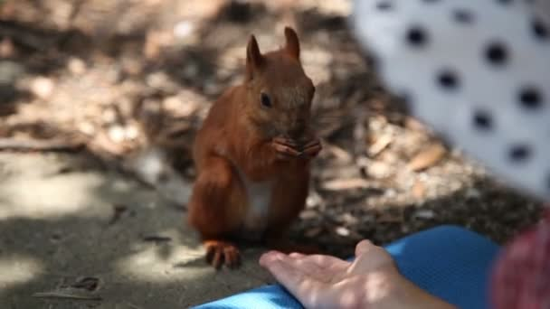 Close-up of a squirrel. Animal eats from the hands of man. Forest beast waiting for help from a human